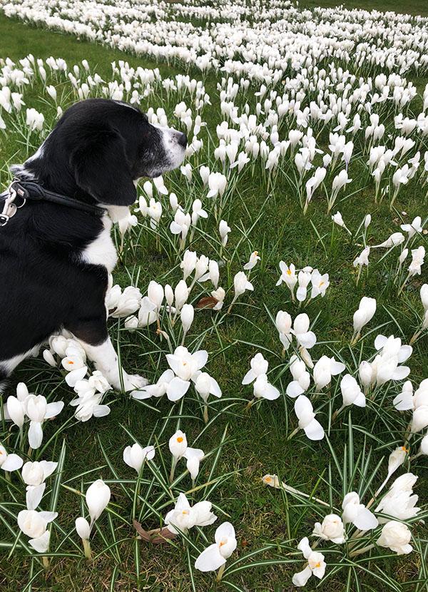 Jesper Sønderaas hund Luna i blomsterbed